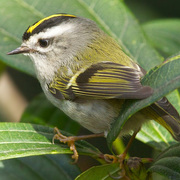 Adult female. Note: entirely yellow crown (no orange).