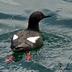 Adult breeding plumage.