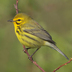 Male. Note: bold yellow supercilium, streaked flanks, and rufous streaked back.