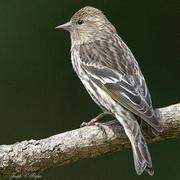 Female. Note: white wing bars.